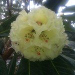Fantastic rhododendron bloom
